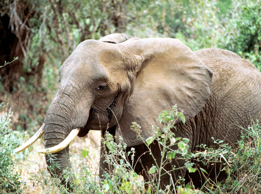 African male elephant in forest