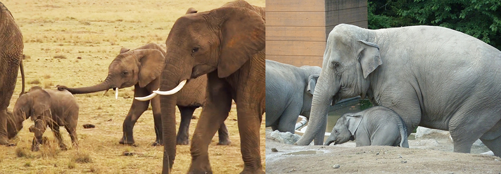 African versus Indian elephants
