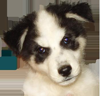 Alaskan Husky puppy head