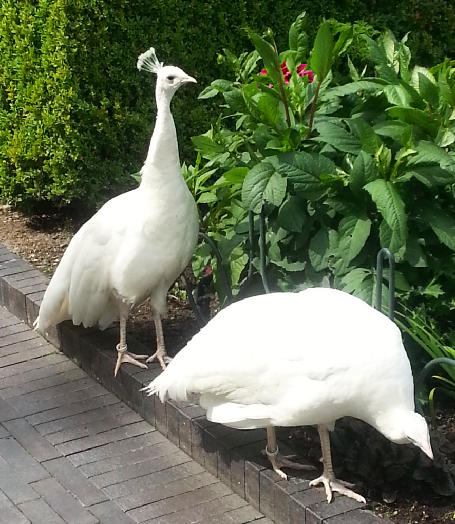 albino peacocks or just white peacocks