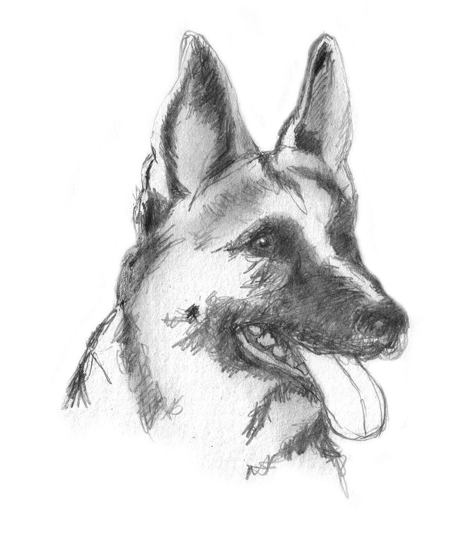 Sketch of german shepherd dog alsatian sketch