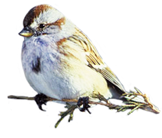 American tree sparrow picture