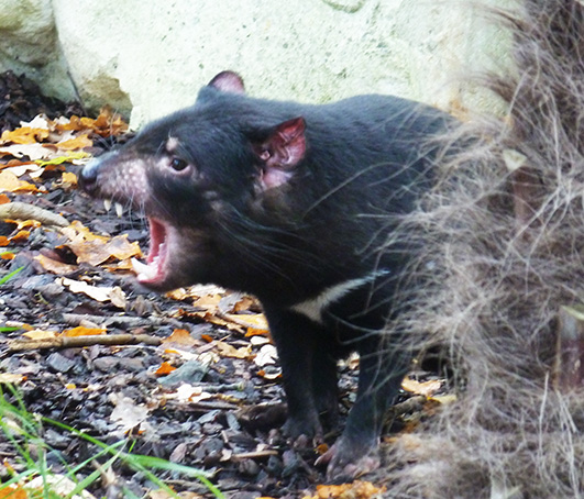Angry Tasmanian devil
