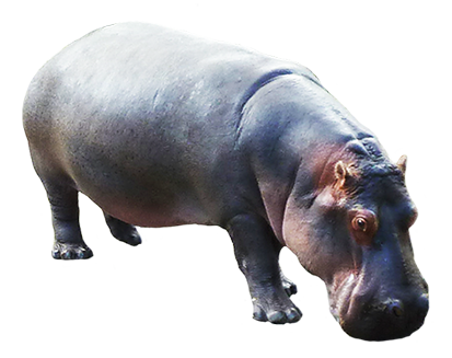 hippopotamus graphics