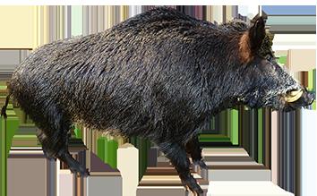 animal clip art wild boar