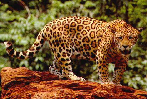 animal clipart jaguar great for business