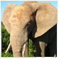animal facts african elephant