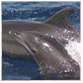 animal facts bottlenose dolphin calf