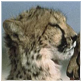 animal facts head of cheetah