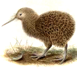 Kiwi Bird Food Chain