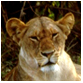 animal facts lion pictures