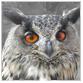 animal facts orange eyed owl