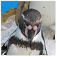 animal facts penguin picture