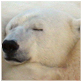animal facts polar bear naptime