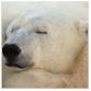 animal facts polar bear naptime
