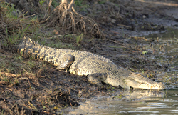 animal facts saltwater crocodile