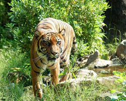animal facts tiger sumatrae tigris