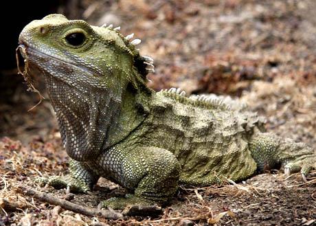 tuatara animals facts