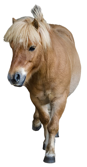 pony seen frontal