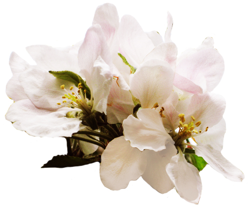 apple tree flower white soft pink