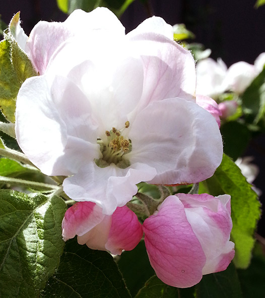 apple blossom in spring