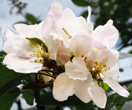 blooming apple flower in spring