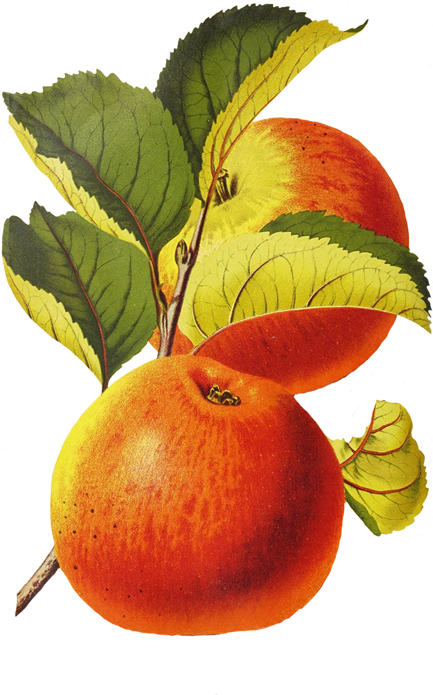 Apples with leaves drawing png