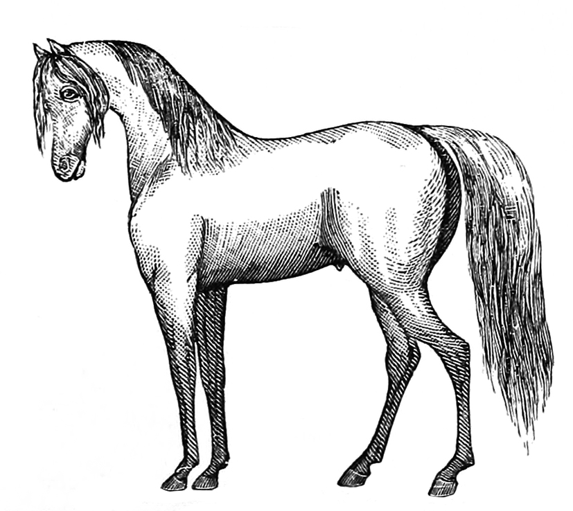 drawing of Arabian horse