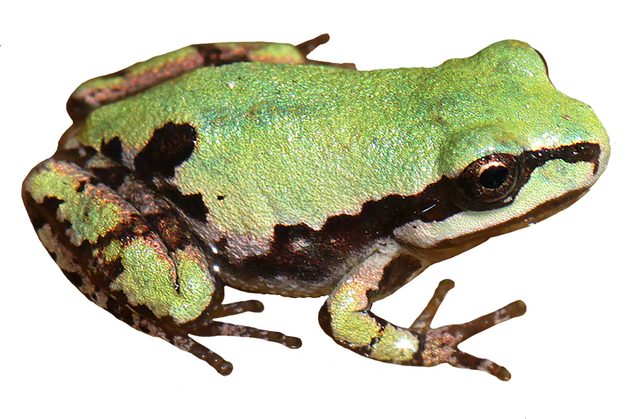 Arizona tree frog