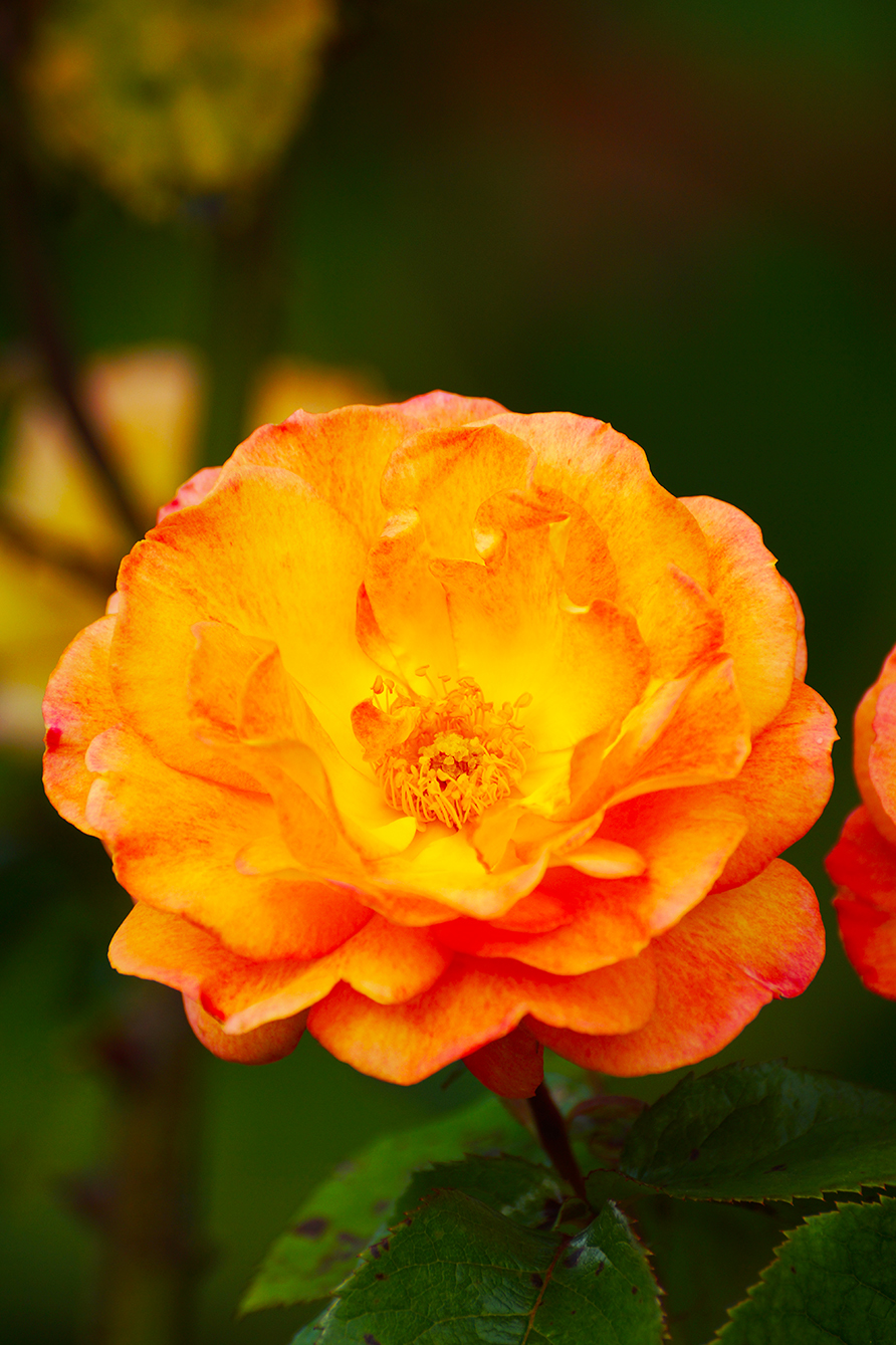 artistic photo of orange rose