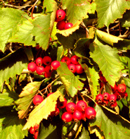 first day of fall red berries
