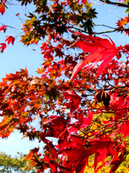 autumn scenery red leaves blue sky