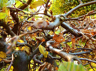 Beech branches leaves fall