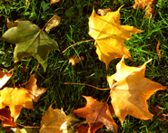 fall clipart yellow leaves in the grass