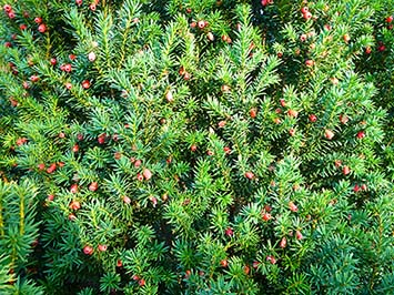 Yew with red autumn berries