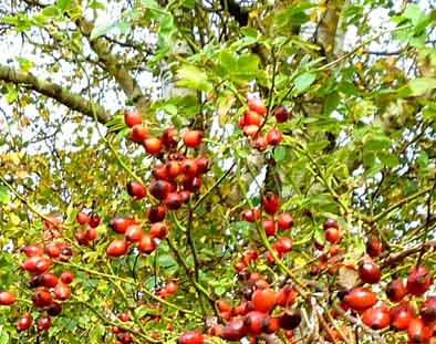 red rose hip berries autumn leaves