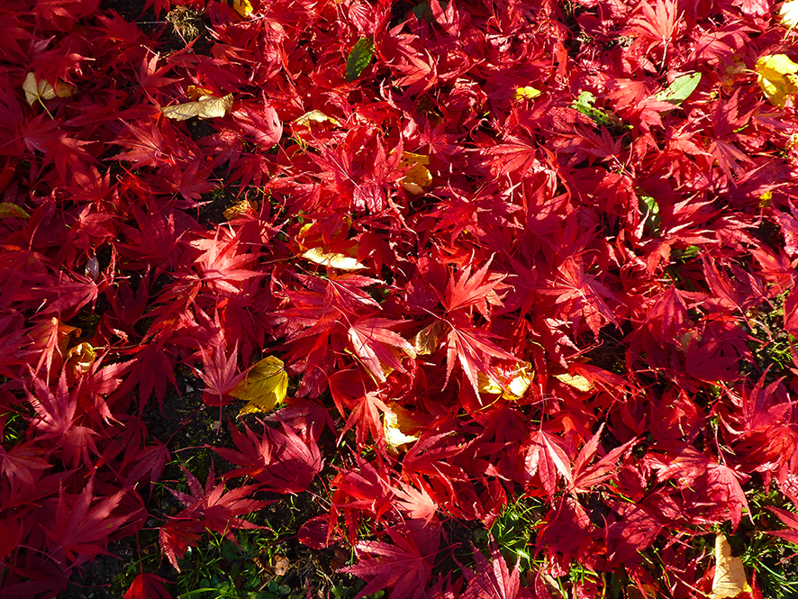Red autumn leaves fallen on the ground