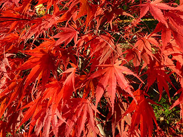 autumn clipart red leaves in fall