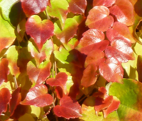 autumn colored wine leaves on wall