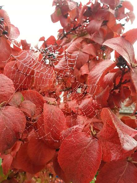 red autumn leaves and spider web