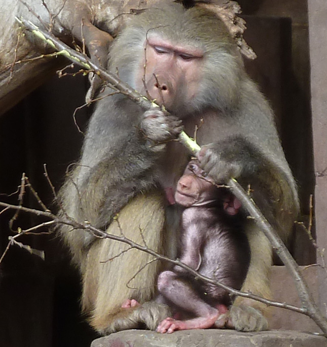 Baboon mother and child in zoo