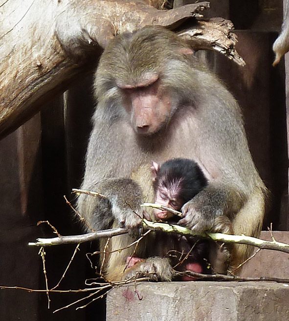Mother baboon eating bark