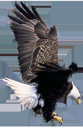 bald eagle landing clipart
