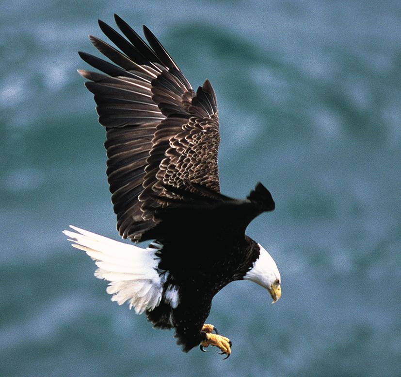 bald eagle landing picture