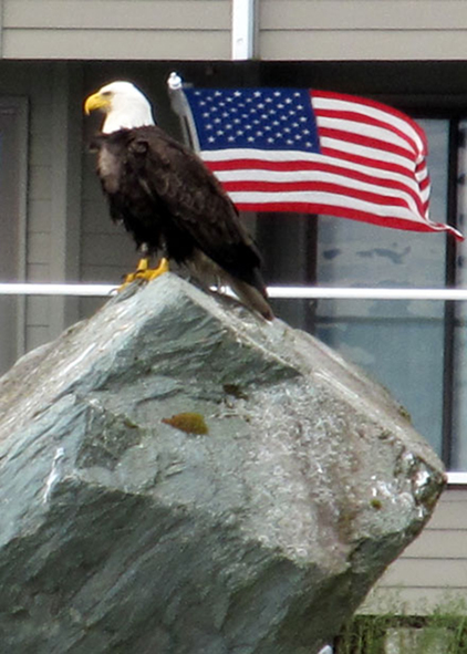 american bald eagle and american flag