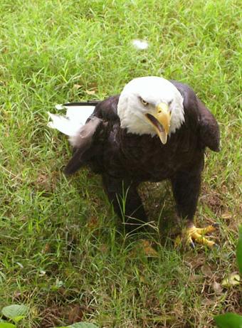 Angry bald eagle