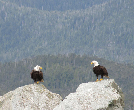 bald eagles on rock in water