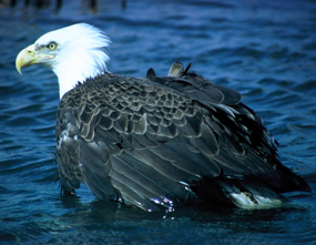 bald eagle bird in water