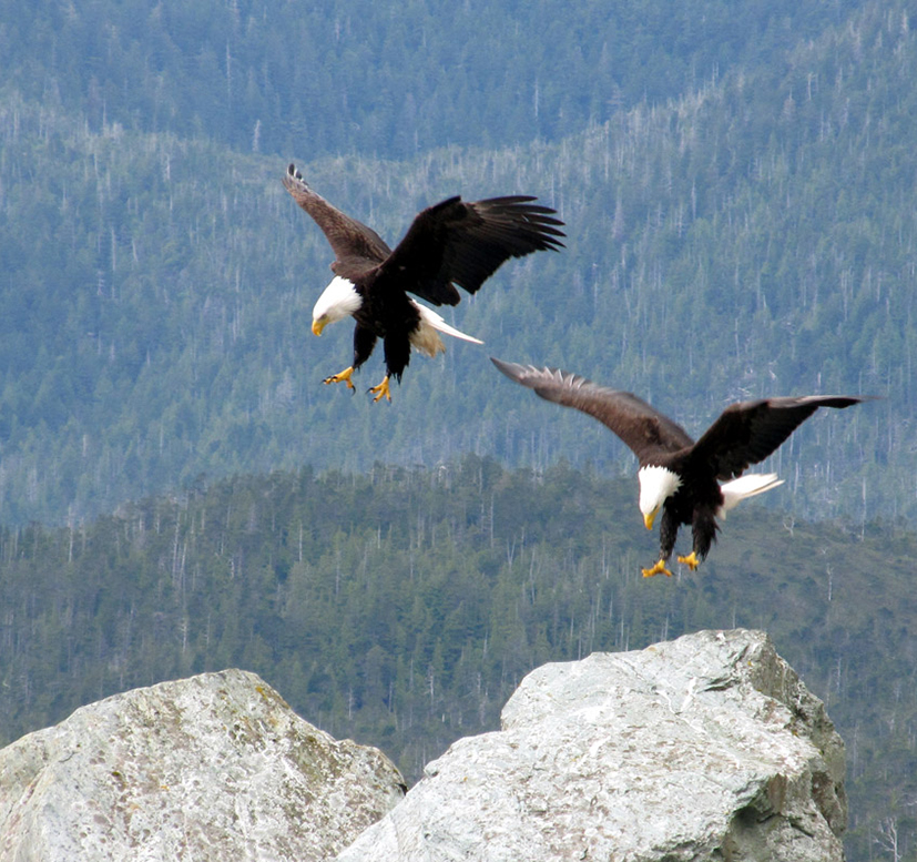 bald eagles landing on mountain