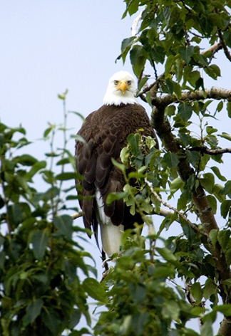 bald eagle in tree looking down